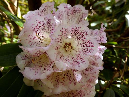 Rhododendron irroratum