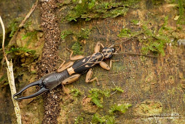 Earwig (Dermaptera) - DSC_3740