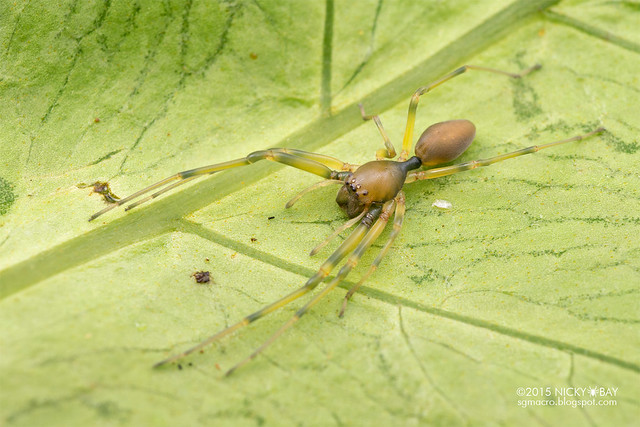 Ant-like sac spider (Utivarachna sp.) - DSC_2970