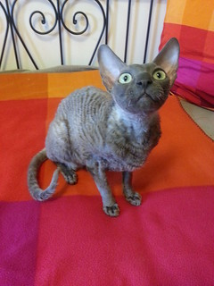 PK the Cornish Rex