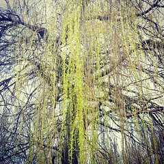 Spring has at last begun to appear in North London #spring #willow #tree #UK