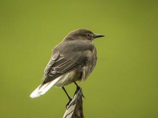 Black-billed Shrike-Tyrant_DSCN2919
