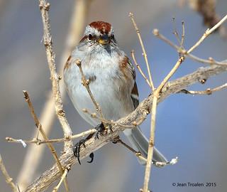 Bruant hudsonien / American Tree Sparrow