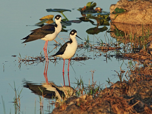 Black-necked Stilts 01-20150315