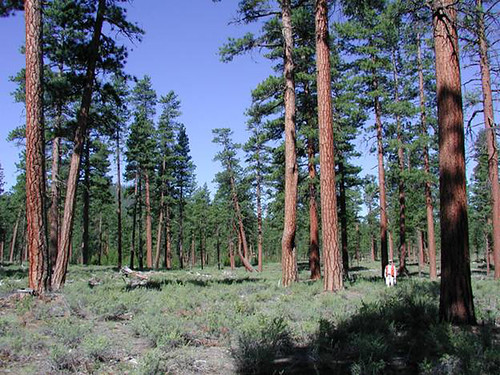 Covering millions of acres of forested lands in the West, the Ponderosa Pine can grow to heights of over 200 feet. (U.S. Forest Service Photo)