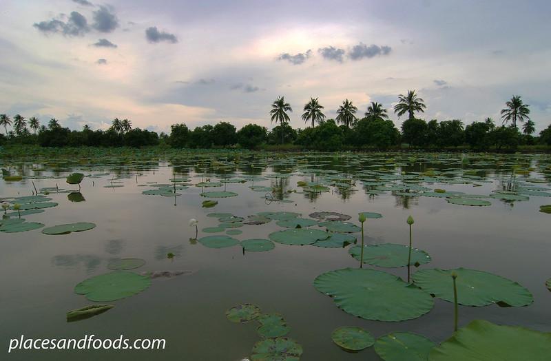 lotus farm Mahasawat River, Nakhon Pathom