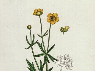 Hand-colored lithography: Ranunculus auricornus