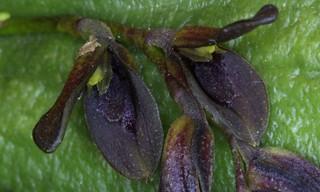 Acianthera tristis (Barb.Rodr.) Pridgeon & M.W.Chase