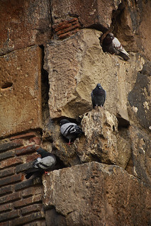 Great ductility of pigeon