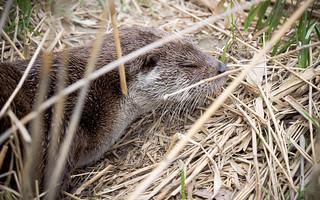 Otter, Portrait