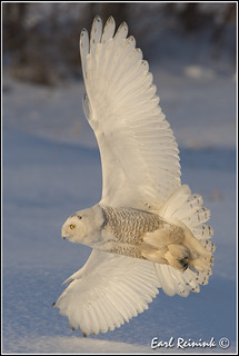 Snowy Owl - evening light