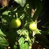 We've got tomatoes! #tomato #tomatoes #patiogarden #patiogardening #containergarden #containergardening #garden #gardener
