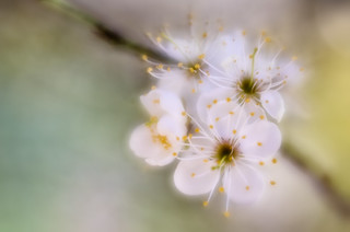 Wild Plum | by Anne Worner