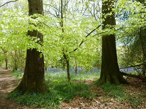 Bluebells in Kings Wood