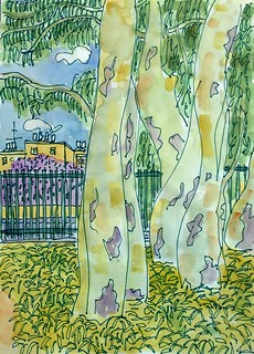 eucalyptos trees