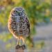 Burrowing Owl by DeniseDewirePhotography