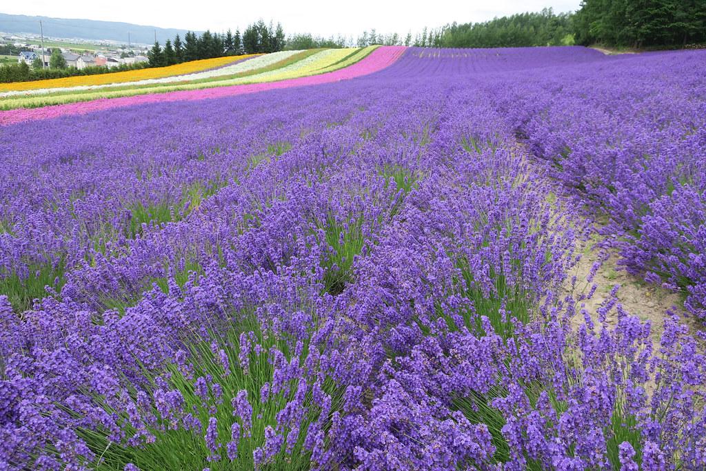 Tomita Farm, Furano, Hokkaido.