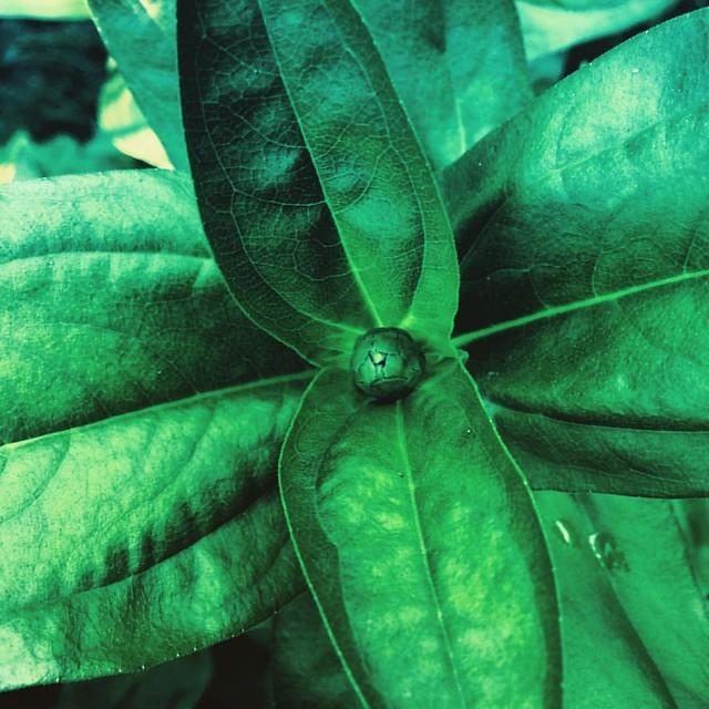 Zinnia Bud #flowers #patiogarden #garden #zinnia #zinnias #buds