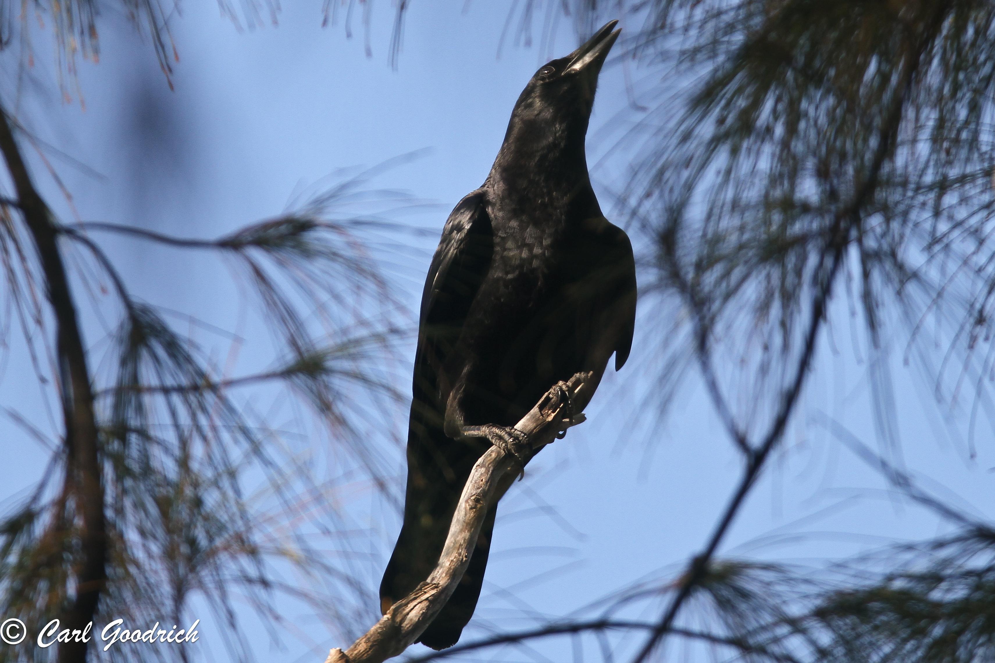 American Crow-4