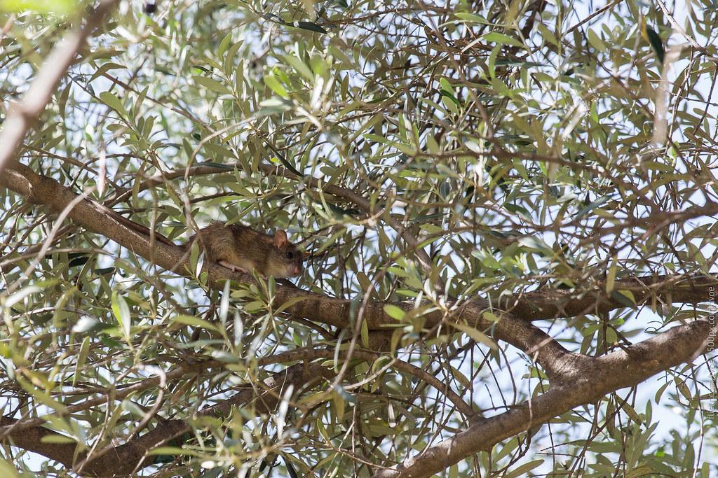 Крыса на дереве в Барселоне