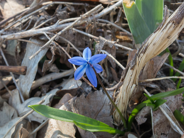 First Wild Flower of Spring - April 11, 2015