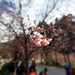 櫻花 Cherry Blossom _IMG_5523