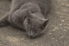nose, animal, british shorthair, small to medium-sized cats, pet, mammal, european shorthair, fauna, chartreux, close-up, cat, korat, wild cat, whiskers, nebelung, russian blue, domestic short-haired cat,