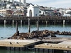 Sea lions @ Pier 39 @ San Francisco