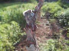 Moshato samou - Xinisteri
