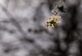 Spring blossom, Sale, Cheshire