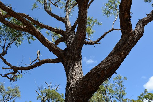 Bailey's Stringybark