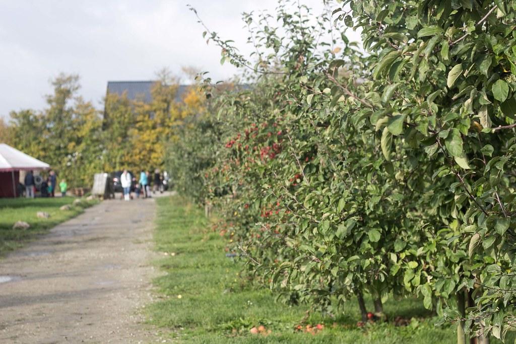 Æblemost (16)