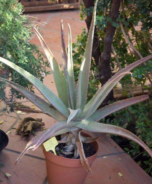 Aloe vera  16946789677_32f8213e24_o