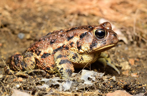 gorgeous female American Toad