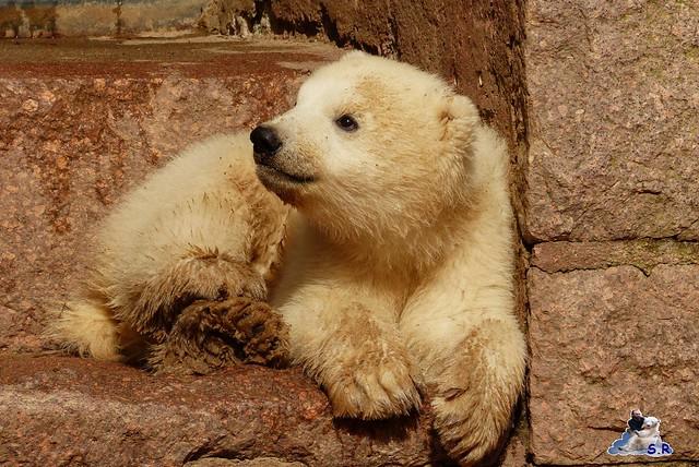 Eisbär Nachwuchs Zoo Rostock 30.03.2015  213