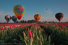 This morning at the Wooden Shoe Tulip Festival, Woodburn, Oregon