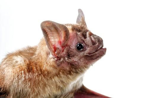 Common-Vampire-Bat-Desmodus-rotundus