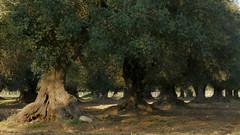 Faggiano - Filari di ulivi