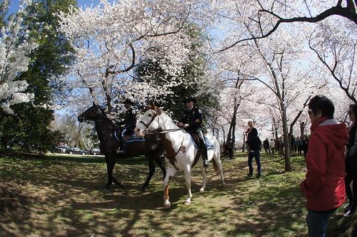 Equestrian Rangers under Cherry Blossoms