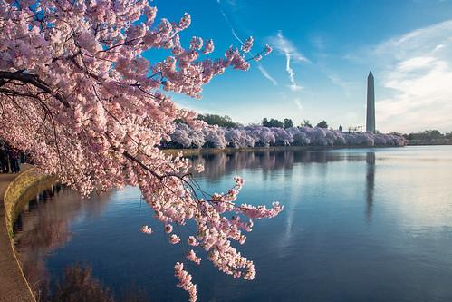trees tree monument water sunrise cherry dc washington blossom washingtonmonument tidalbasin kurtmiller canon5dmarkiii canon5dmark3