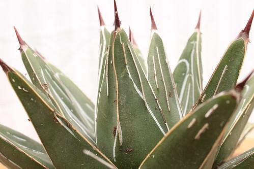 Agave victoriae-reginae - agave de la Reine Victoria - Page 2 17342640522_a94509c540