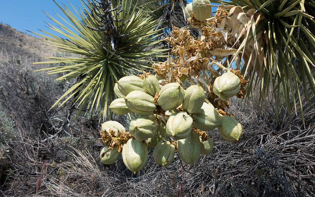 Joshua Tree seedpods, m664