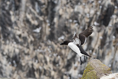 Razorbill flight, Bishop's Cove, Isle of May