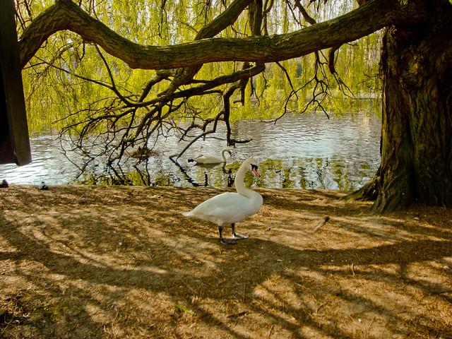 Swams of Regent's Park