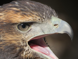 Grey Buzzard-eagle