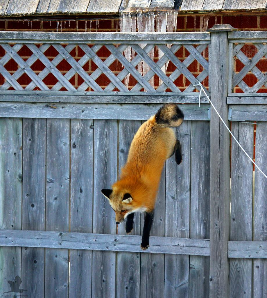 Jumping Fox.