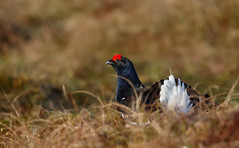 Black Grouse - April 2015