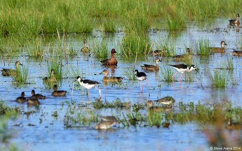 bird birds duck nikon louisiana teal d750 welsh cite 2014 cinnamonteal anascyanoptera jeffersondavisparish