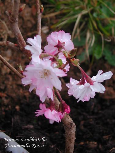 Prunus × subhirtella 'Autumnalis Rosea'