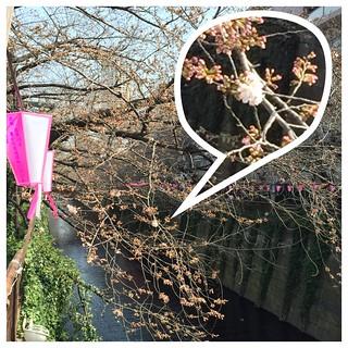 目黒川の桜、中目黒近く 2015/3/22